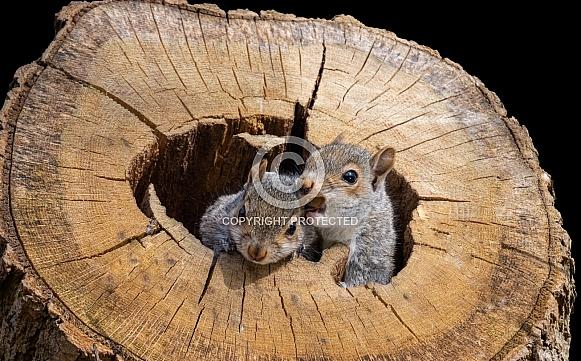 Playful Grey Squirrels