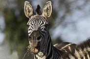 Grants Zebra Close Up Mouth Open