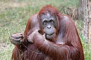 Orangutan (Ponog Pygmaeus)