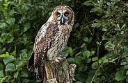 Hybrid Owl Species Full Body On Tree Stump