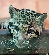 clouded leopard cub