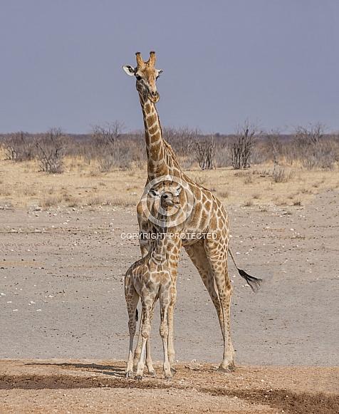 Giraffe mother and calf