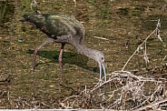 Nonbreeding Adult/Immature White-faced Ibis in Nevada