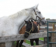 Grey mare and foal
