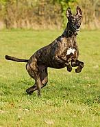 Brindle Greyhound Prancing