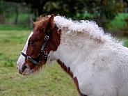 Tinker horse foal