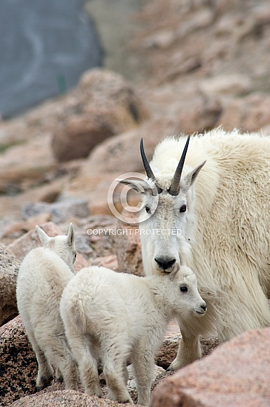 Mountain goat nanny with two kids