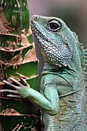 Water Agama