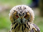 Young Indian Eagle Owl