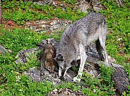 Tundra Wolf pup and female