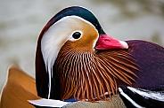 Mandarin Duck Portrait