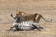 Wild lioness with zebra