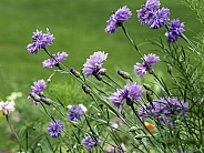 Cornflower or Bachelor's Button Wildflowers