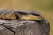 Blue tongue lizard.