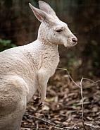 Albino Kangaroo 2