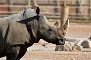 Indian White Rhino at Al Ain Zoo. UAE.