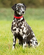 Sitting Dalmatian
