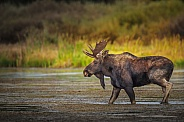 Bull Moose in river near Island Park, ID