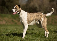 Brindle and White Lrher