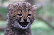Cheetah cub 'happy face'