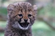 Cheetah cub 'happy face'