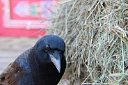 Common Crow