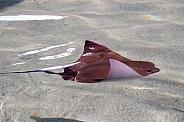 Cownose Stingray
