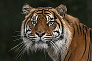 Sumatran Tiger Front On Head Shot