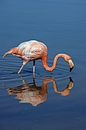 Greater Flamingo - Galapagos Islands - Ecuador