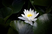 White waterlily on water, close up view