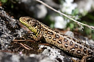 Female sand lizard - Lacerta agilis