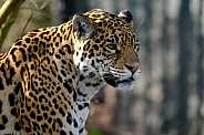 Jaguar Portrait, Head looking Right.