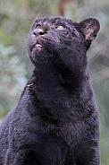 jaguar pup