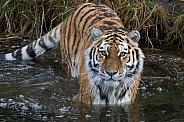 Amur/Siberian Tiger(Panthera Tigris Altaica)