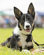 Tri-Coloured Border Collie