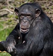 Chimpanzee (Pan troglodytes) - Zambia