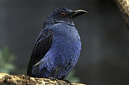 Fairy Bluebird Full Body