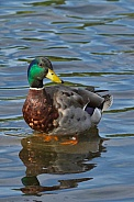 Male Mallard Duck Portrait