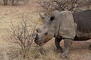 Rhino in field in South Africa