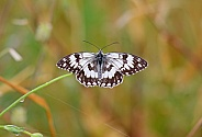 Balkan Marbled White