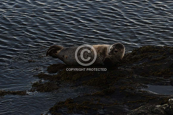 Common or harbour seal pup