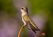 Hummingbird perched on a piece of grape vine
