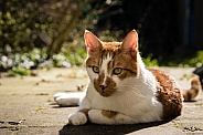 Domestic cat chilling in the sun