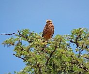 Juvenile Rock Kestrel