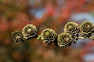 Fir Cones and Autumn colors