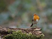 A European robin