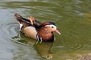 Mandarin Duck (drake)
