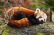 Red Panda Asleep Curled Up In A Tree