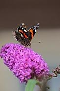 Vanessa Atlanta Butterfly