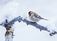 Common Female Redpoll Perched in a Tree